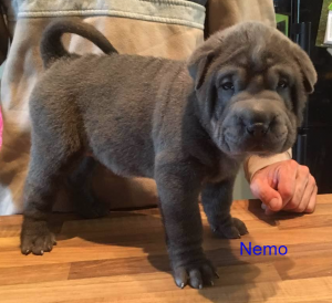 shar pei bleu brush