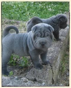 mâle shar pei bleu chiot