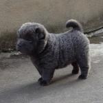chiot sharpei bear coat