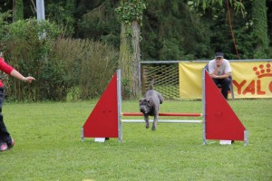 Sharpei saute obstacle agility