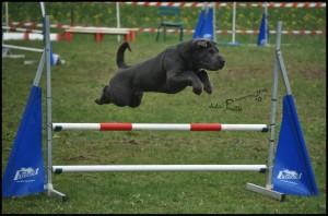 shar-pei sportif en agility