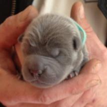 naissance de chiot sharpei bleu