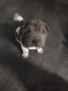 sharpei flowered