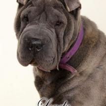 lovely-sharpei-bleu